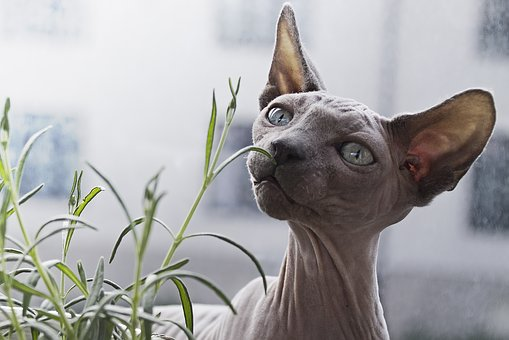 Hairless Cat Breeds and How To Care For Them