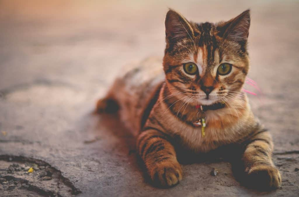 8 Amazing Facts About Tabby Cat