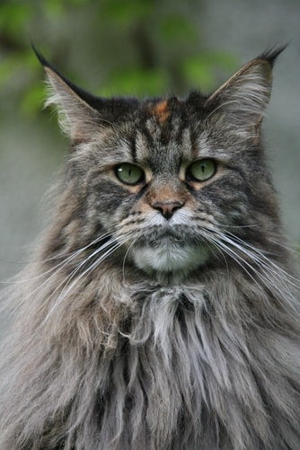 Maine Coon Cat: Characteristics & Personality