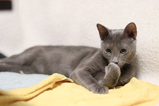 Russian Blue An Attractive Cat Breed