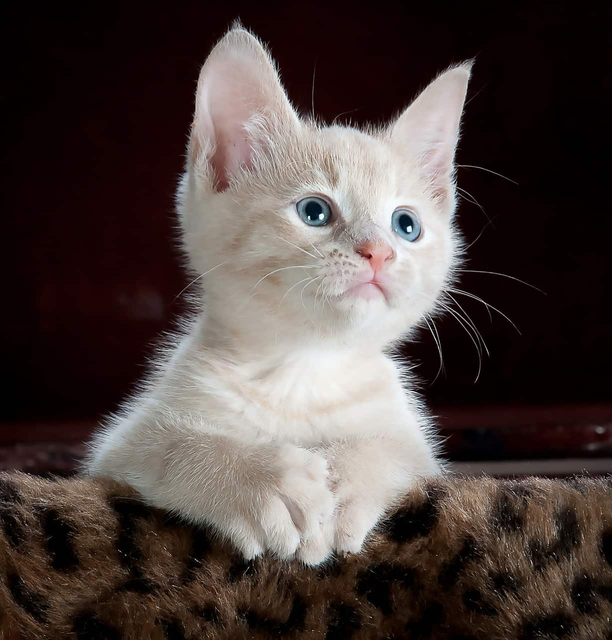 Kitten Constipation Causes And Treatments