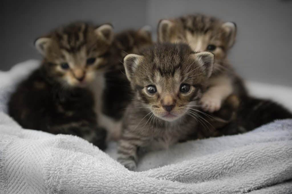 How To Choose Milk Replacer For Kittens?