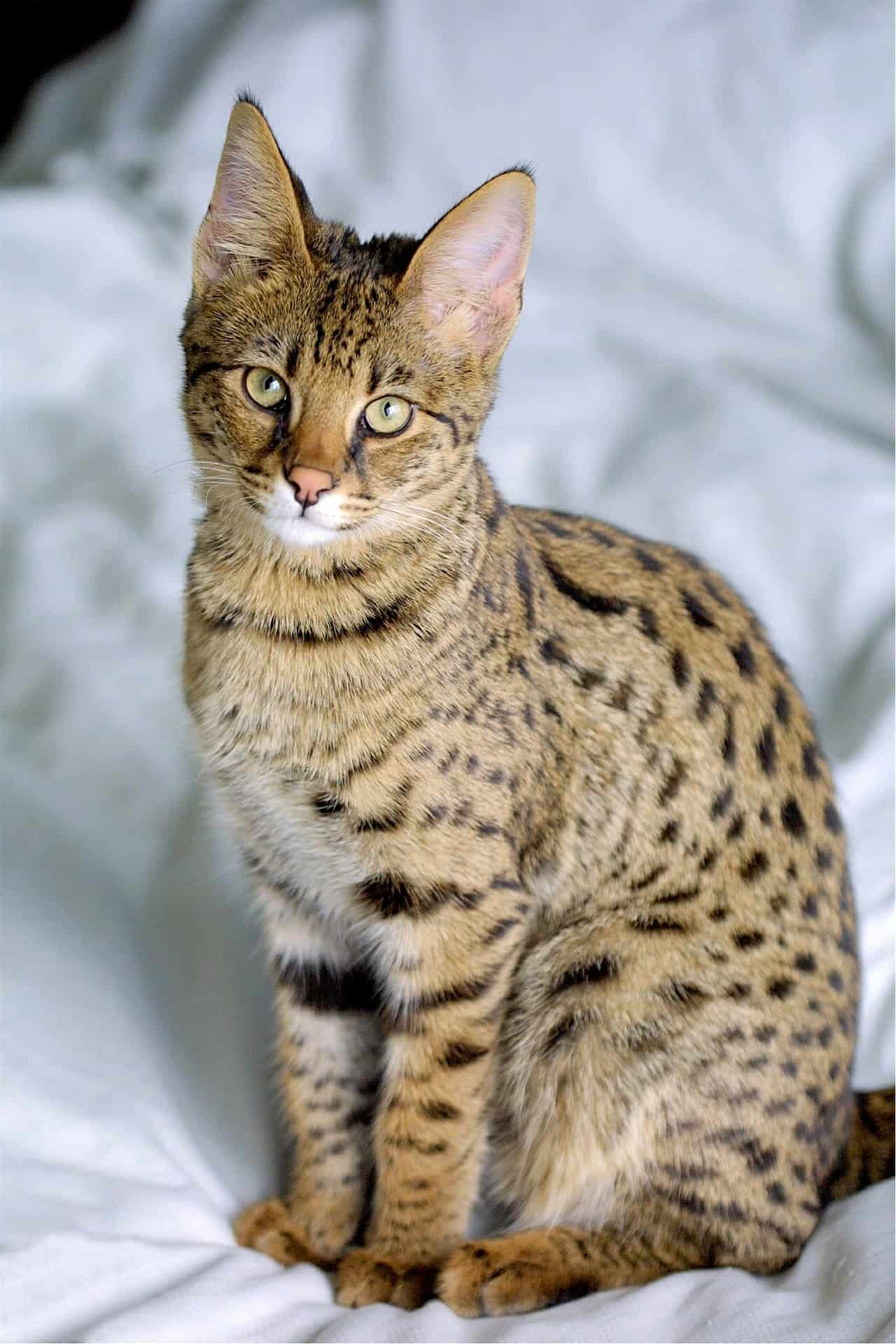 Savannah Cat: Some Interesting Facts About It