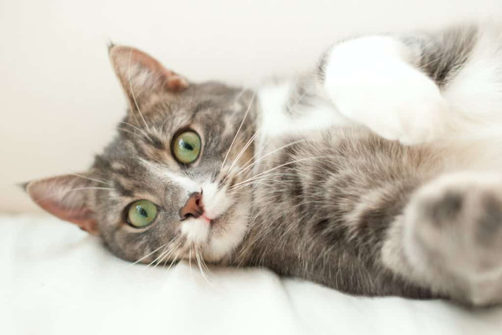 How to Get Rid of Cat Hair - The Hairs Solution
