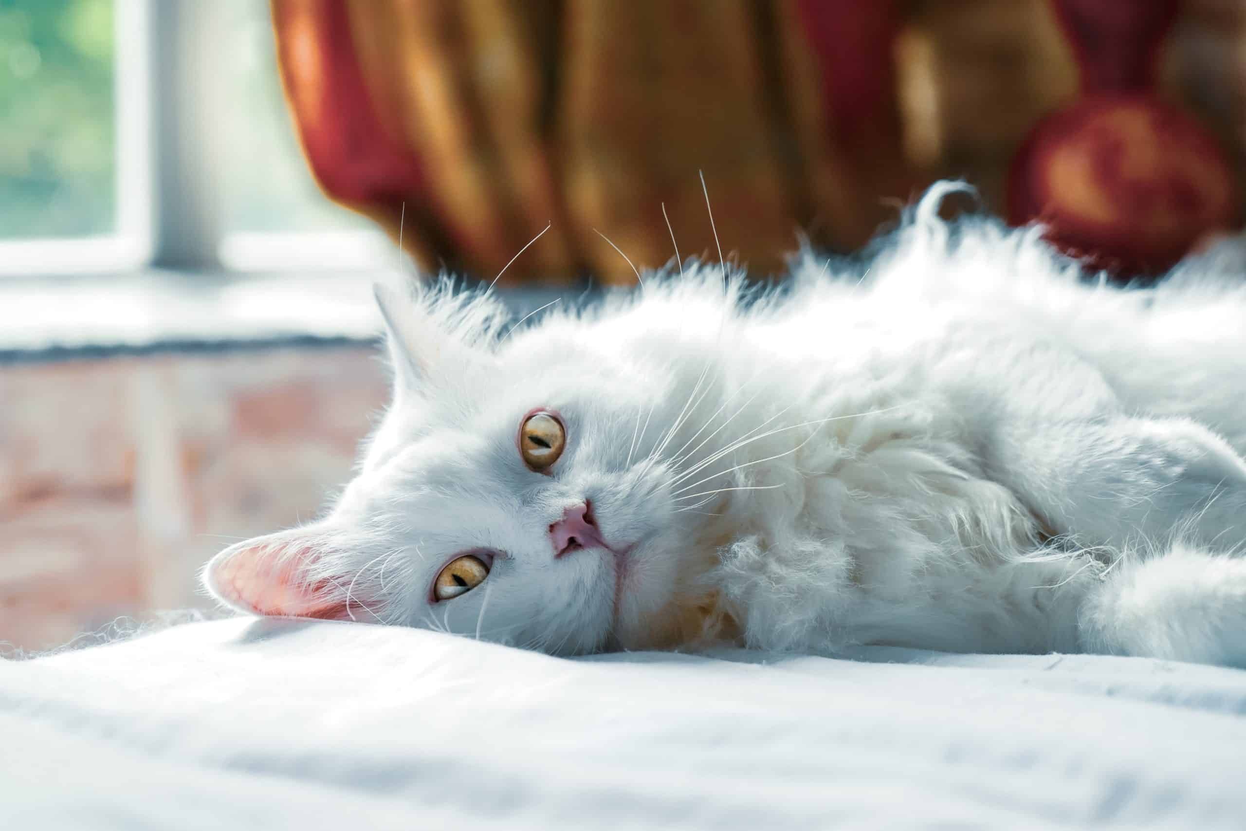 Few Important Tips Regarding Best Cat Haircuts For 2020