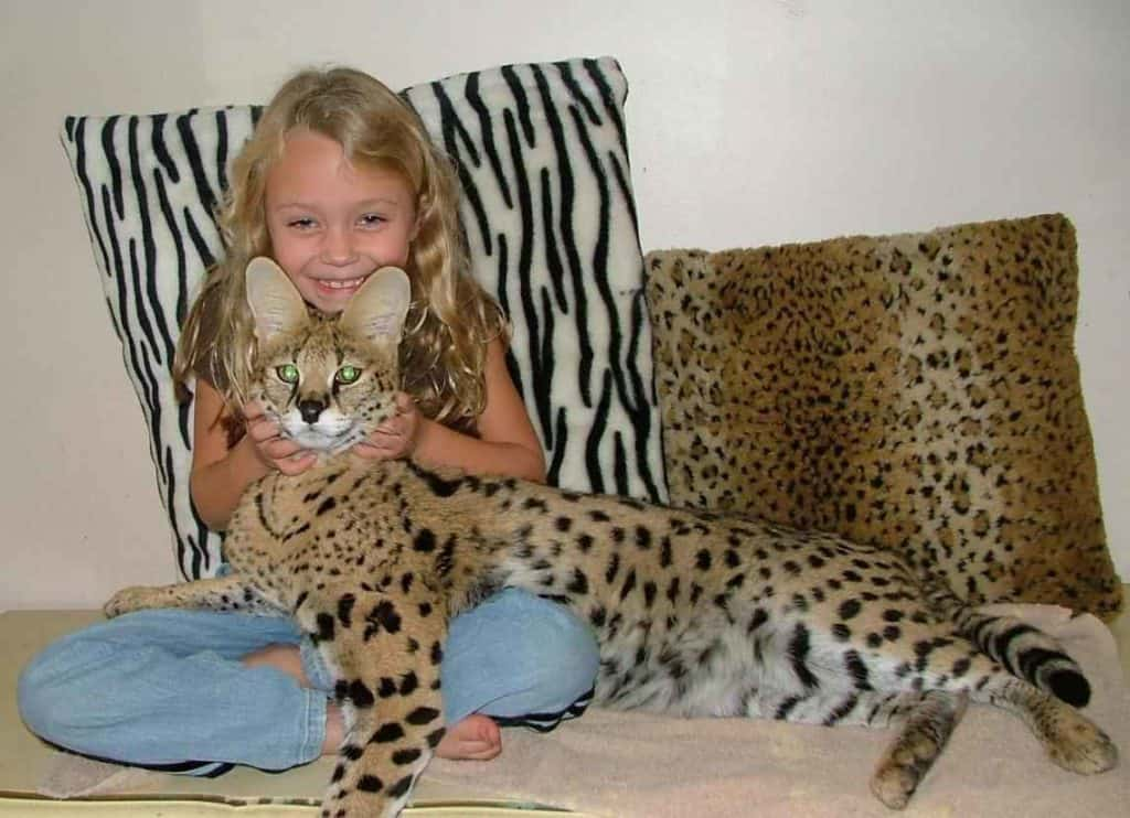 Cat Breed Facts - Know More About The Savannah Cats