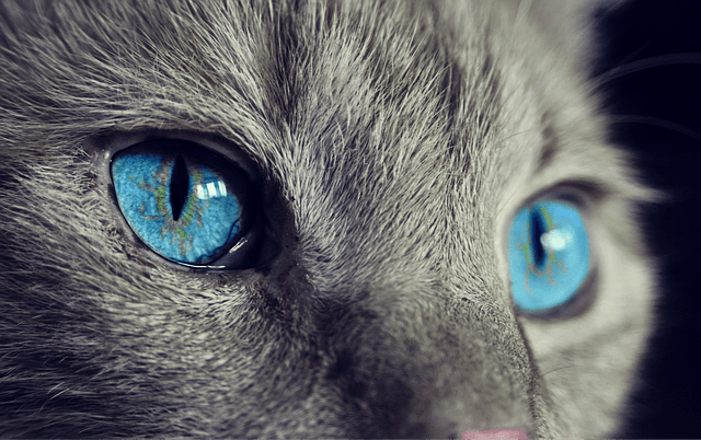 A close up of a cat face looking at the camera