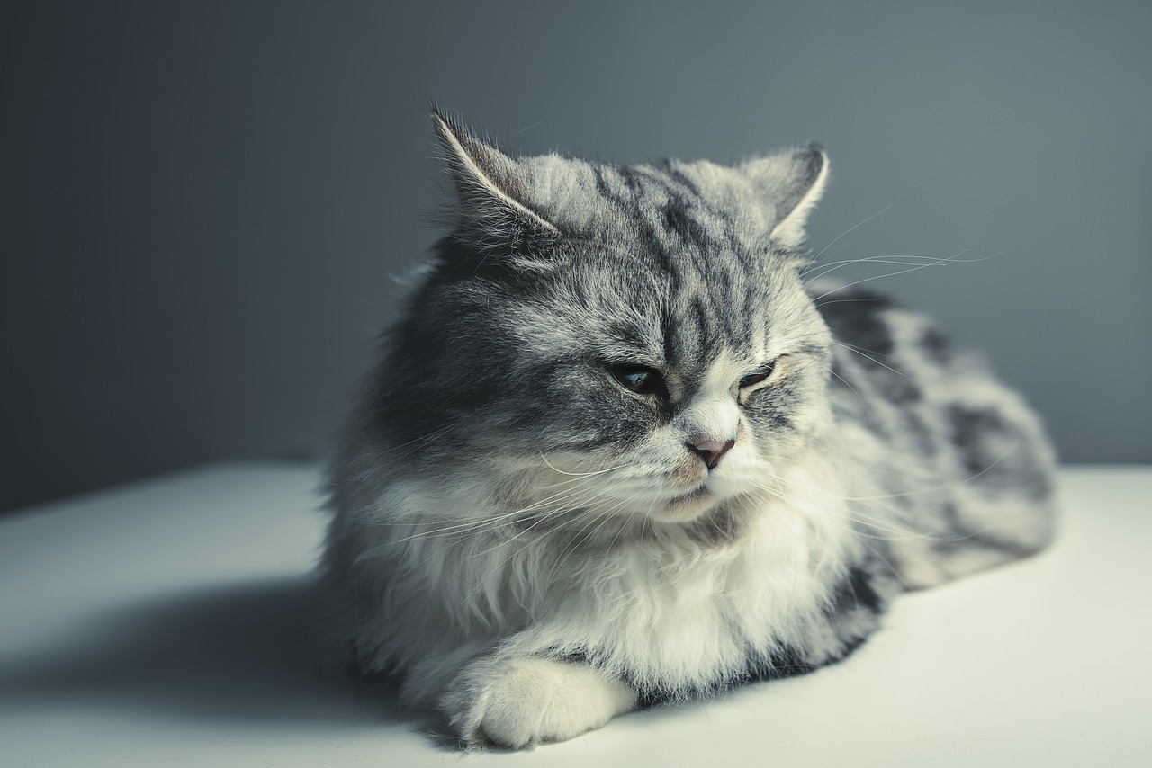 A cat that is lying down and looking at the camera